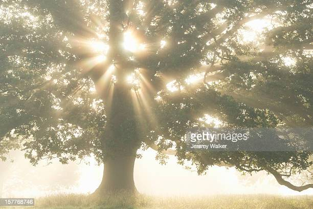 Oak tree in a misty meadow at sunrise in summer