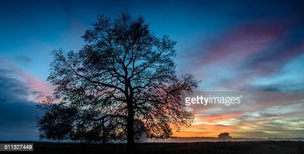 Oak tree in a winter sunset