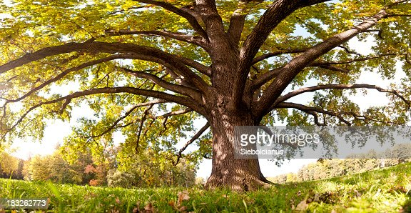 Oak tree in late summer, wide-angle panoramic (frog's eye view).