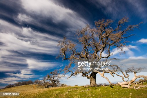 Oak Tree in Ohlone Wilderness : Stock Photo