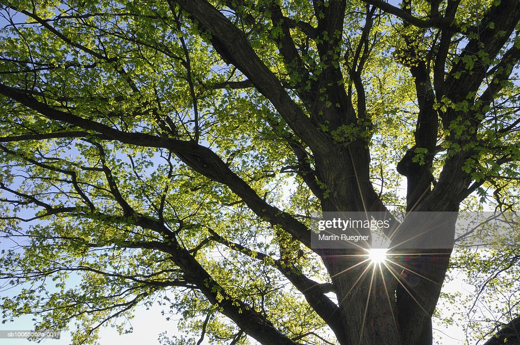 Oak tree (Quercus) in spring with backlit, lend flare : Stock Photo