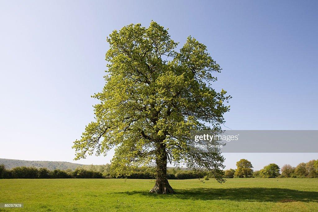 Oak tree in summer : Stock Photo