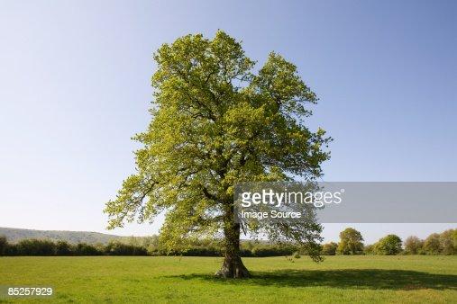 Oak tree in summer : Foto de stock