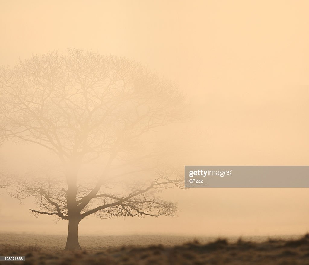 Oak tree in the mist : Stock Photo