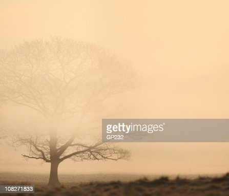 Oak tree in the mist : Stock Photo