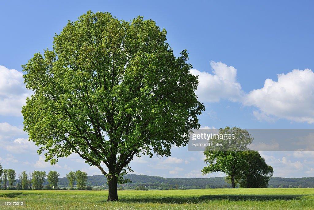 Oak Tree in the Spring : Stock Photo