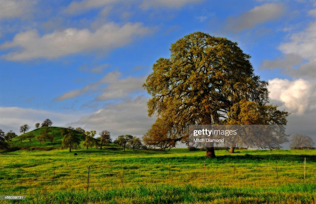 Oak tree landscape : Stock Photo