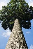 Oak tree (Quercus robur), low angle view