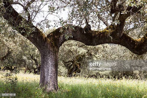 Oak tree on a dehesa