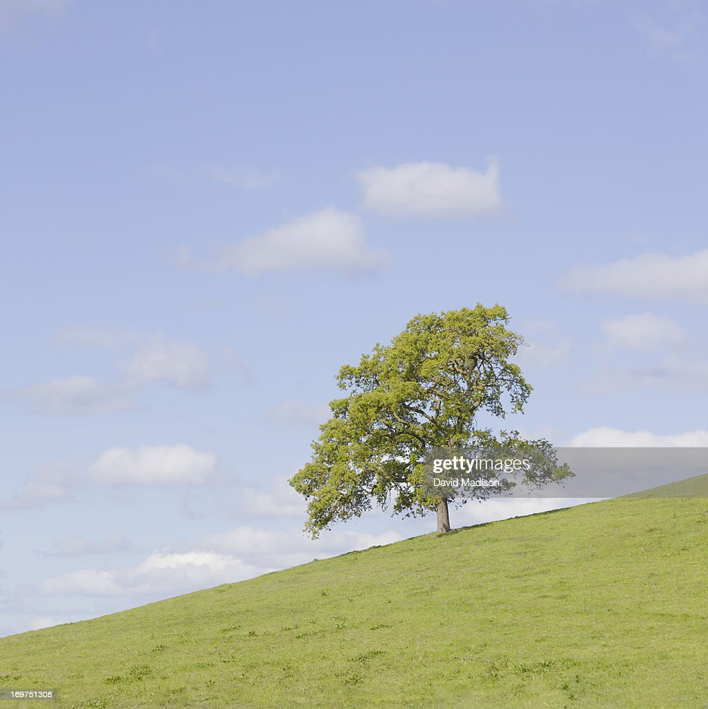Oak tree on slope : Stock Photo