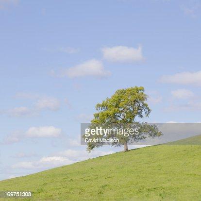 Oak tree on slope : Stock Photo