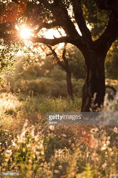 Oak tree に unmown meadow アゲインスト、夜のサン(XXXL