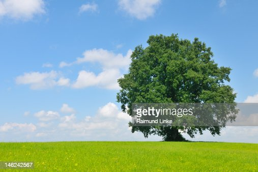 Oak Tree : Stock Photo