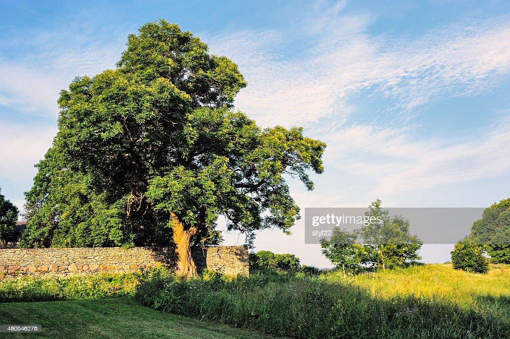 Oak tree : Stock-Foto