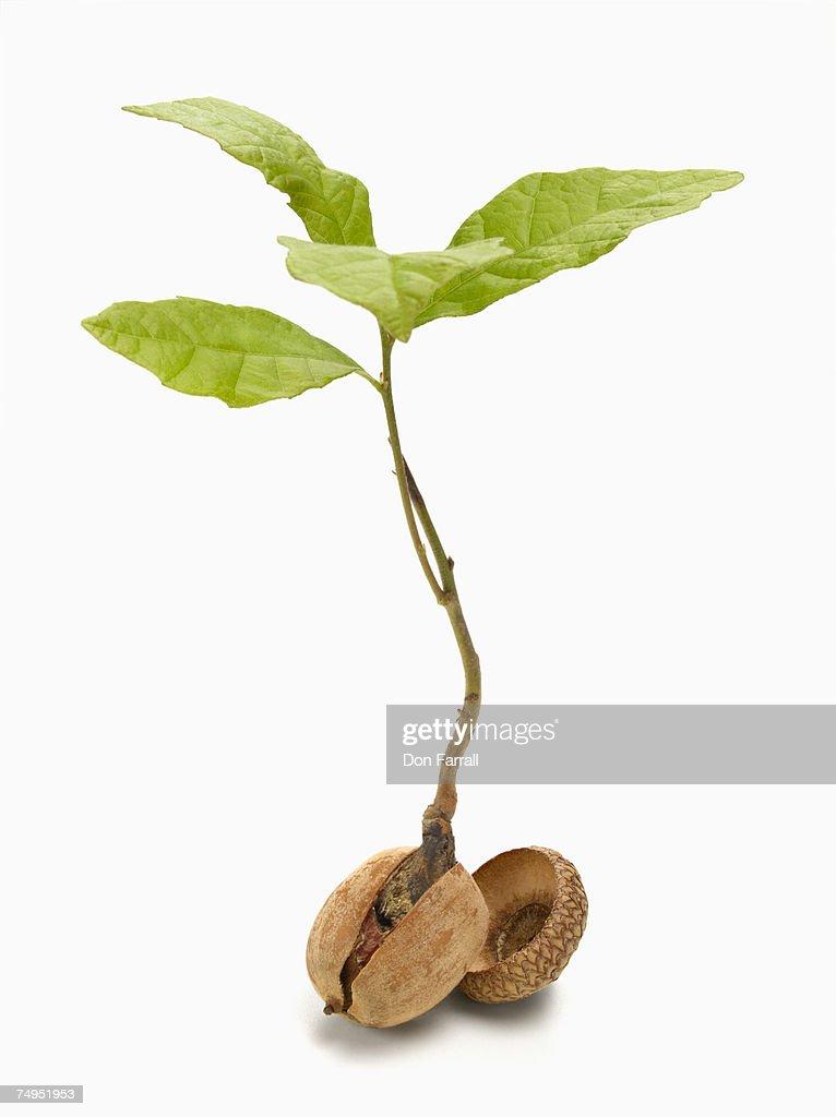 Oak tree sapling (Quercus Robor) and acorn