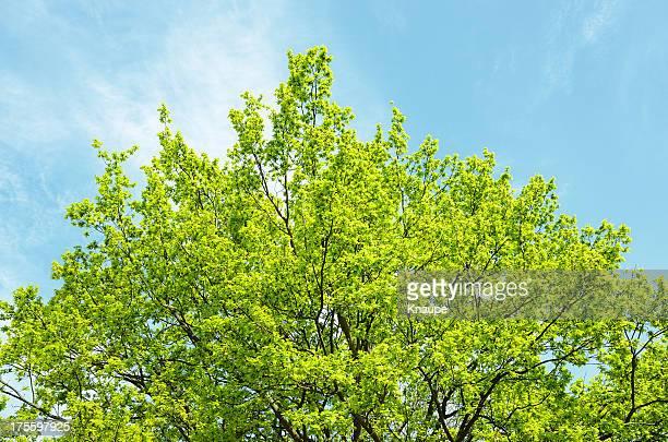 Oak tree treetop gegen blauen Himmel Frühjahr