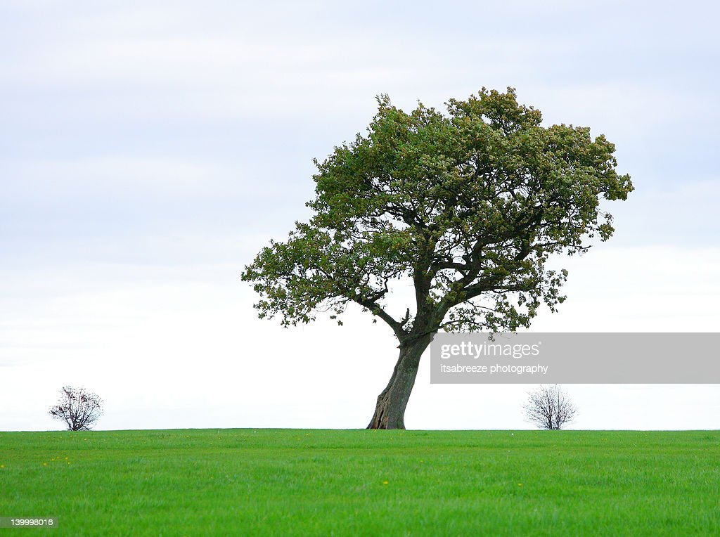 Oak tree with two small bushes either side : Stock Photo