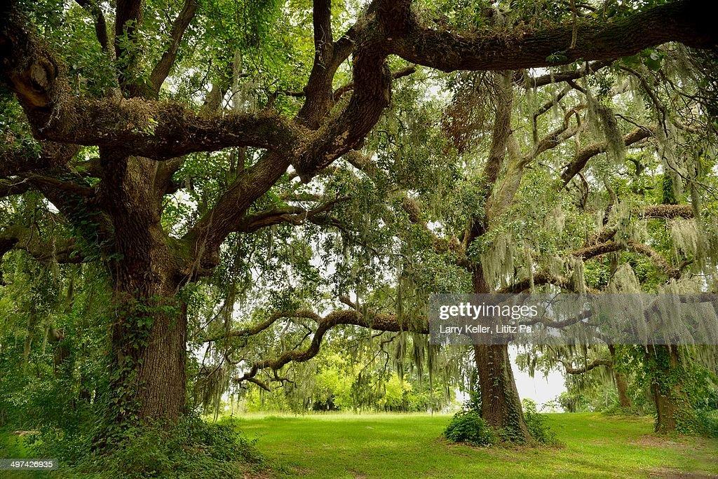Oak Trees and Spanish Moss