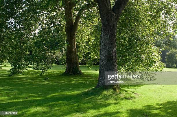 Oak trees, cornwall