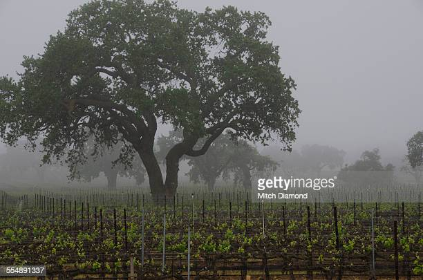 Oak trees in foggy vineyards