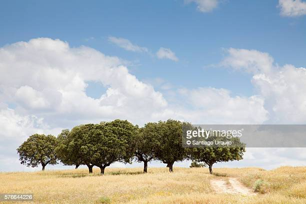 Oak trees on a dehesa