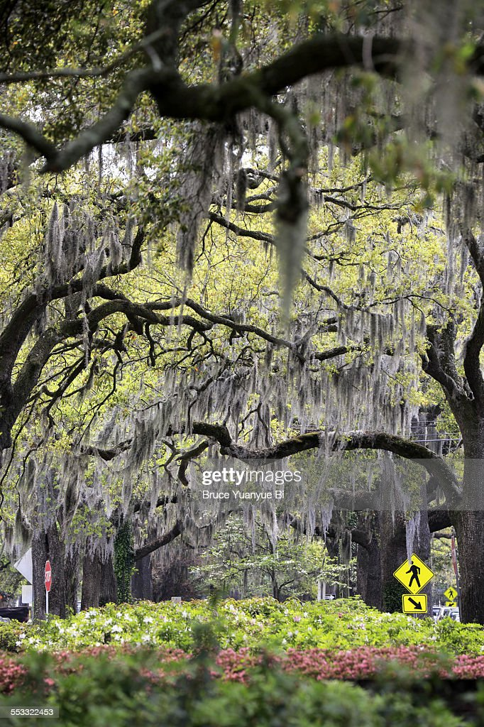 Oak trees with Spanish mosses hanging down