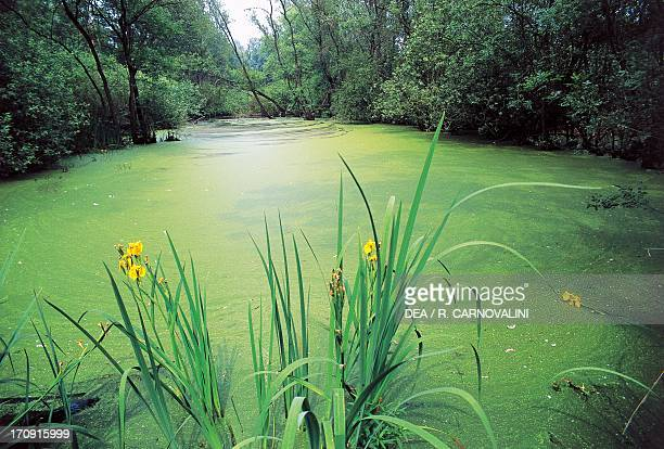 Oasis of Punta Alberete flooded forest Po Delta Regional Park Ravenna EmiliaRomagna Italy