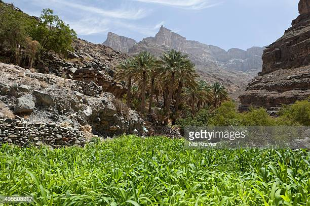 Oasis with date palms and green fields, canyon of Jebel Shams, Hadschar-Gebirge, Al Hajir, Oman