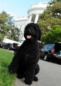 Obama family dog Sunny takes a walk on the South Lawn of the White House on May 17 2014 in Washington DC Sunny joined the Obama family on August 19...