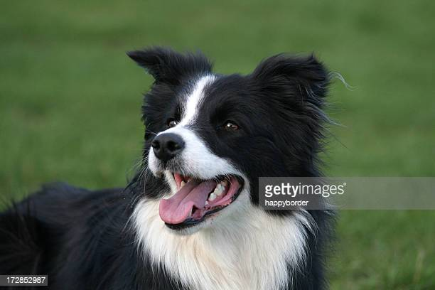 Obedient Border Collie