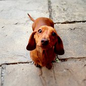 Obedient miniature dachshund sitting patiently.