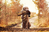 obedient, young and angry nice weimaraner dog or puppy is sitting on a dirt road, and in his mouth holding a pheasant hunter training, winter environment