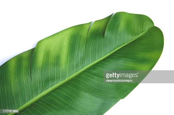 Objekt weißem Hintergrund Banna Leaf