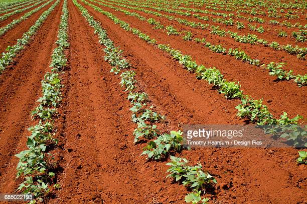 Oblique rows of young green bean plants are growing in very red earth on an organic farm on Molokai