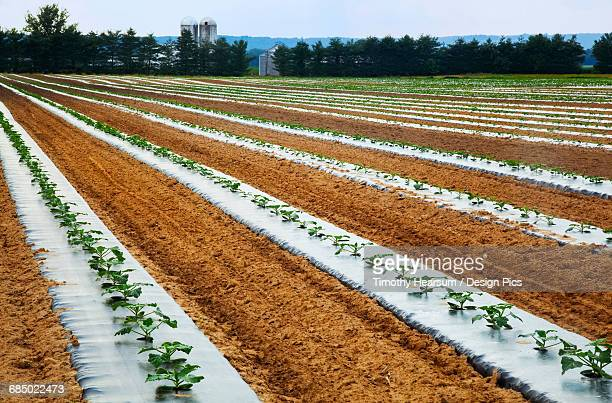 Oblique rows of young zucchini plants on black plastic on a farm with silos, trees and blue sky in the background