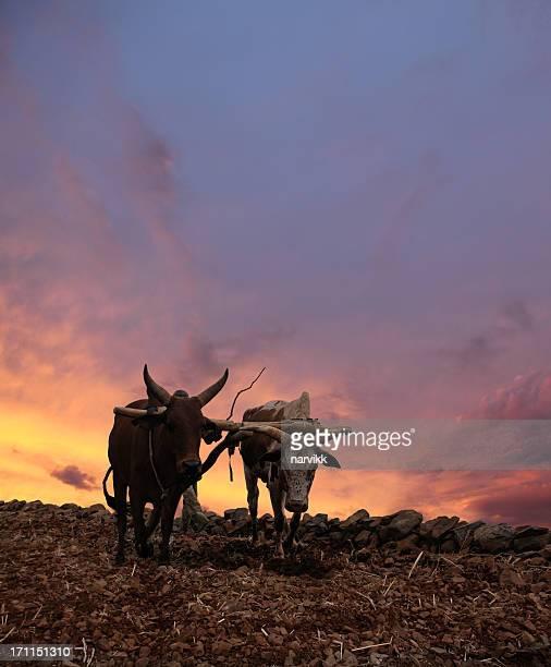 Obsolète Charrue avec Deux vaches