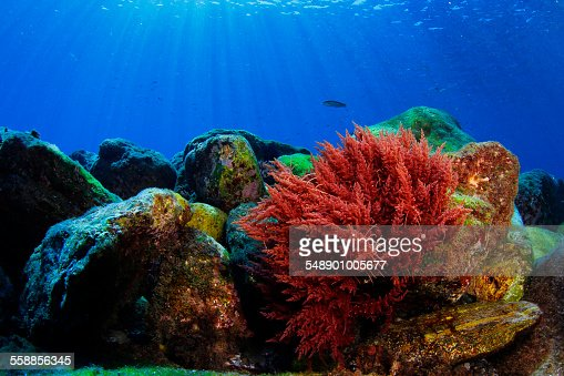 Red Algae Stock Photos and Pictures | Getty Images