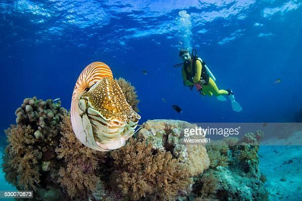 Oceania, Palau, Diver watching Palau nautilus, Nautilus belauensis, in Pacific Ocean