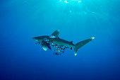 A Carcharhinus longimanus in Red Sea in Egypt