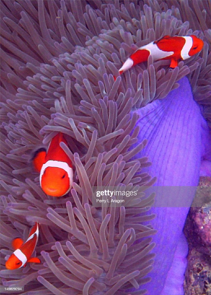Ocellaris Clownfish : Stock Photo