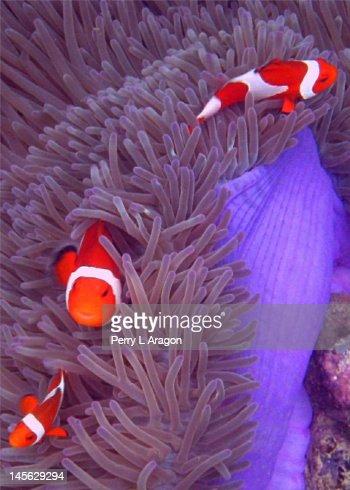 Ocellaris Clownfish : Stock Photo