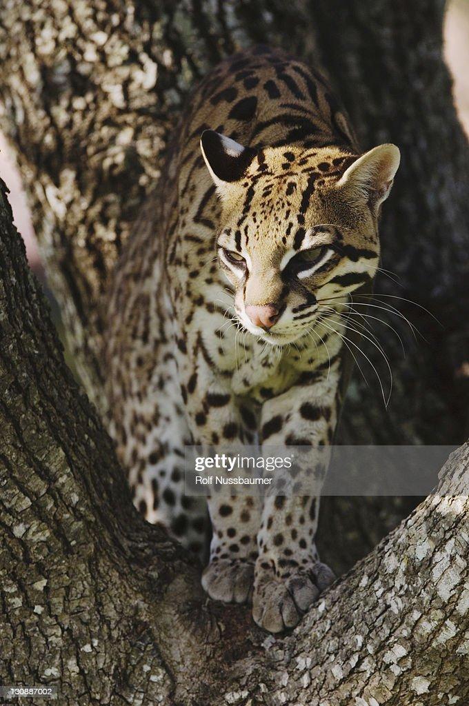 Ocelot (Leopardus pardalis), captive, female on mesquite tree, Sinton, Texas, USA