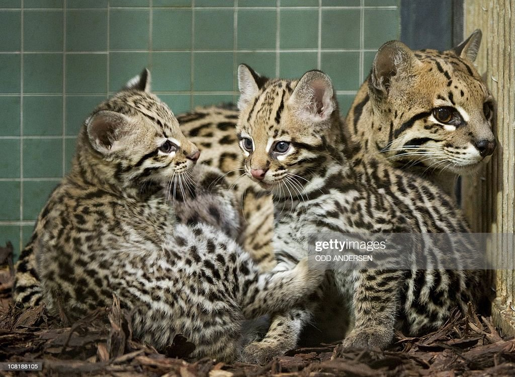 Ocelot cubs Viento and Estrella snuggle up to their mother Sara in their eclosure at the Zoo in Berlin January 18 2011 The two youngsters were born...