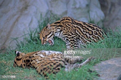 Ocelot (Leopardus pardalis) felidae, snarling at second ocelot, Ecuador