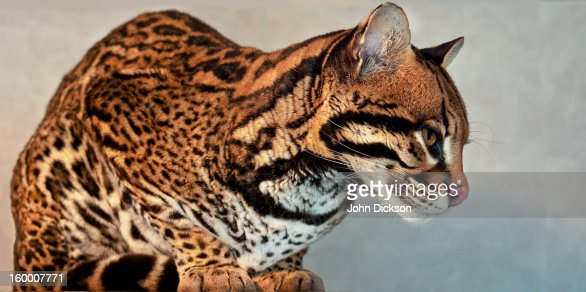Ocelot (Leopardus pardalis) : Stock Photo