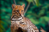 Ocelot rests on a tree.