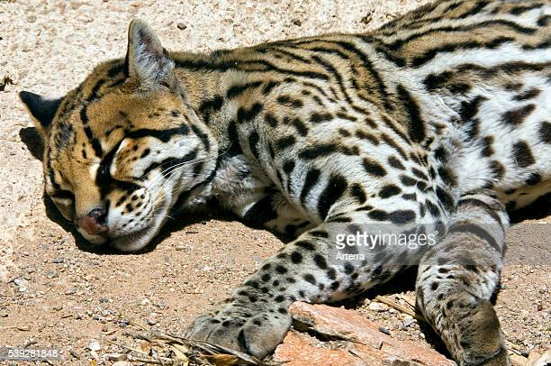 Ocelot wild cat native to South and Central America sleeping in Sonoran desert Arizona US