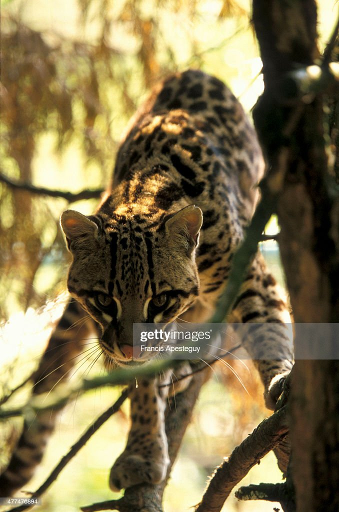 'Ocelots Felis pardalis Linnaeus Little is known about wild ocelots a cat that was and remains ever so popular as a house pet They are generally...