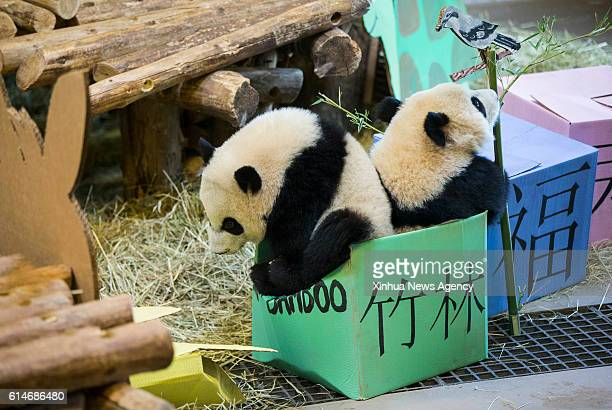TORONTO Oct 13 2016 Panda cubs Jia Yueyue and Jia Panpan step into a green box representing 'Lots of Bamboo' during the first birthday celebration of...