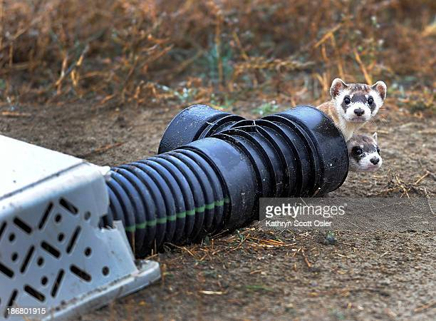 There are 48 outdoor preconditioning pens that house some ferrets Each pen is 40'x40' and the animals stay in the pens a minimum of 30 days and must...